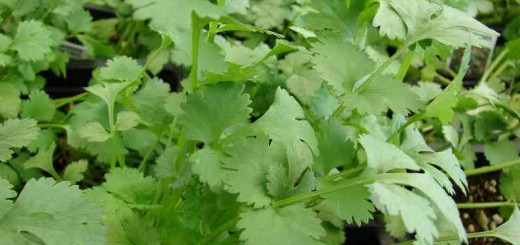 coriandru-planta