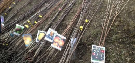 plantare-pomi-fructifer