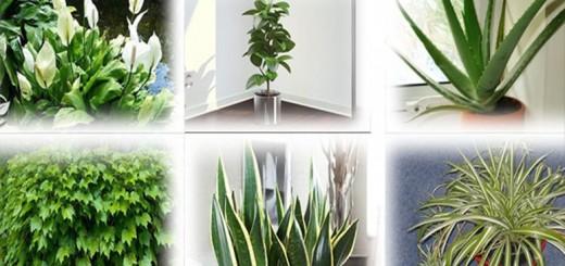 plante bombe de oxigen