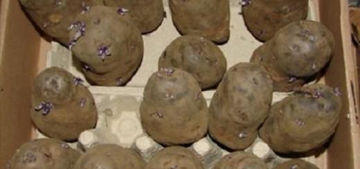 cartofi incoltiti