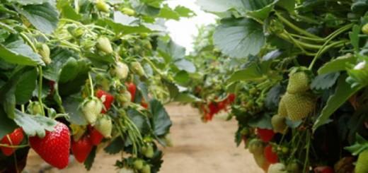 cultivarea-capsunilor