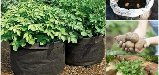 cultivarea-cartofilor-in-saci-1