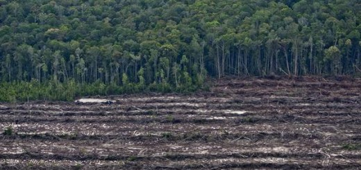 Rainforest juxtaposes with rows of cut trees from the recent clearance of orang-utan habitat inside the PT Wana Catur Jaya Utama palm oil concession in Mantangai, Kapuas district, Central Kalimantan. PT  WCJU is a subsidiary of BW Plantation.
