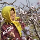polenizare-manuala 1
