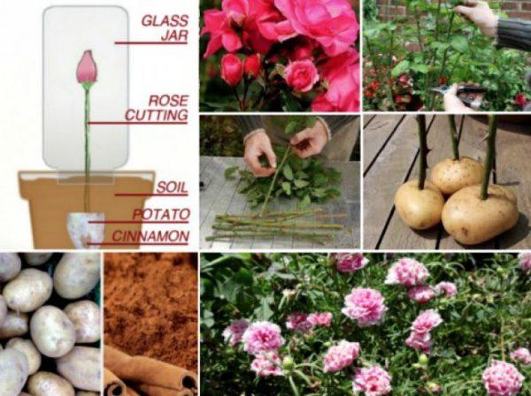 plantarea -trandafirilor