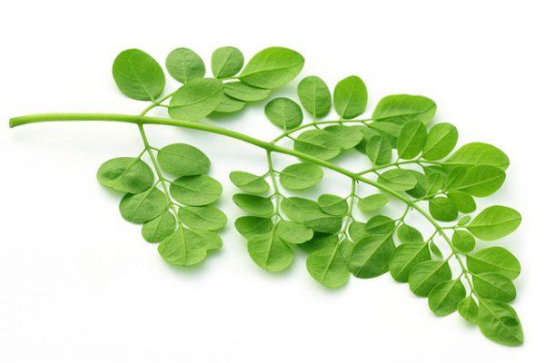 Moringa-Oleifera-Baum-