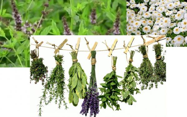 plante-medicinale-lexicon-de-plante