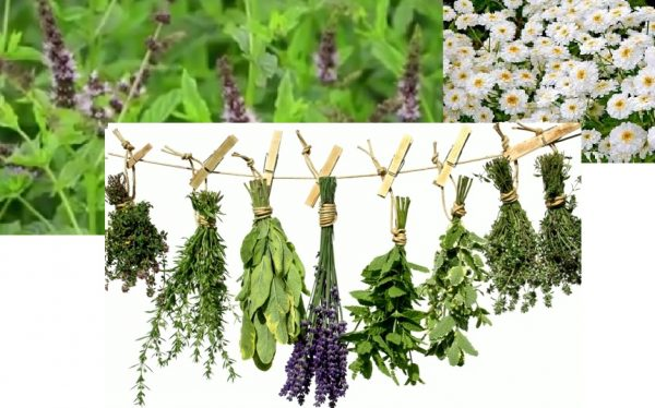 Ce plante medicinale pot fi recoltate n luna septembrie for Plante x ragnarok