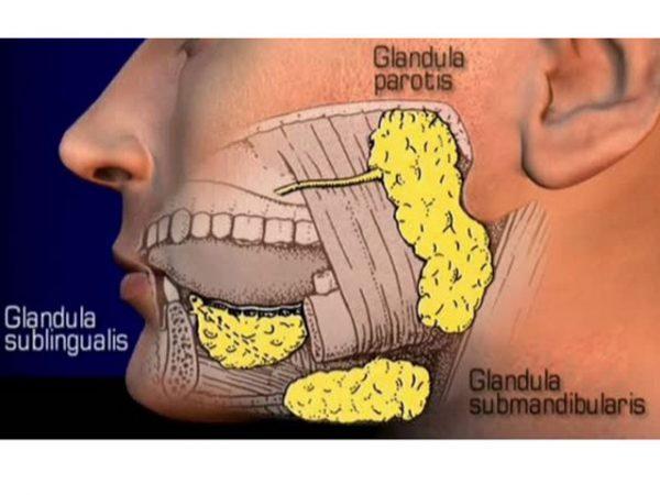 glande-salivare