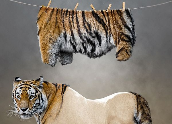 tigru1
