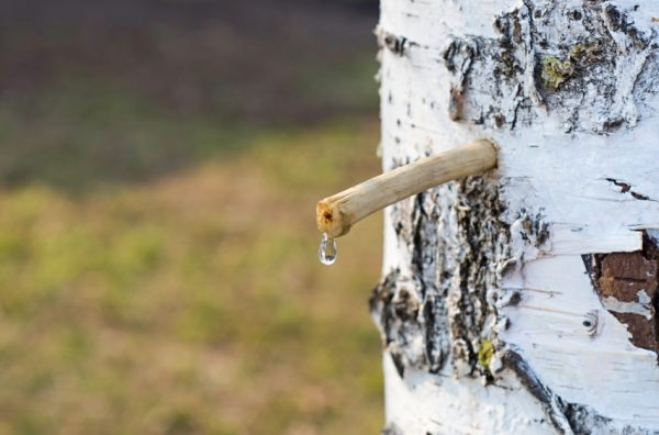 drop birch juice